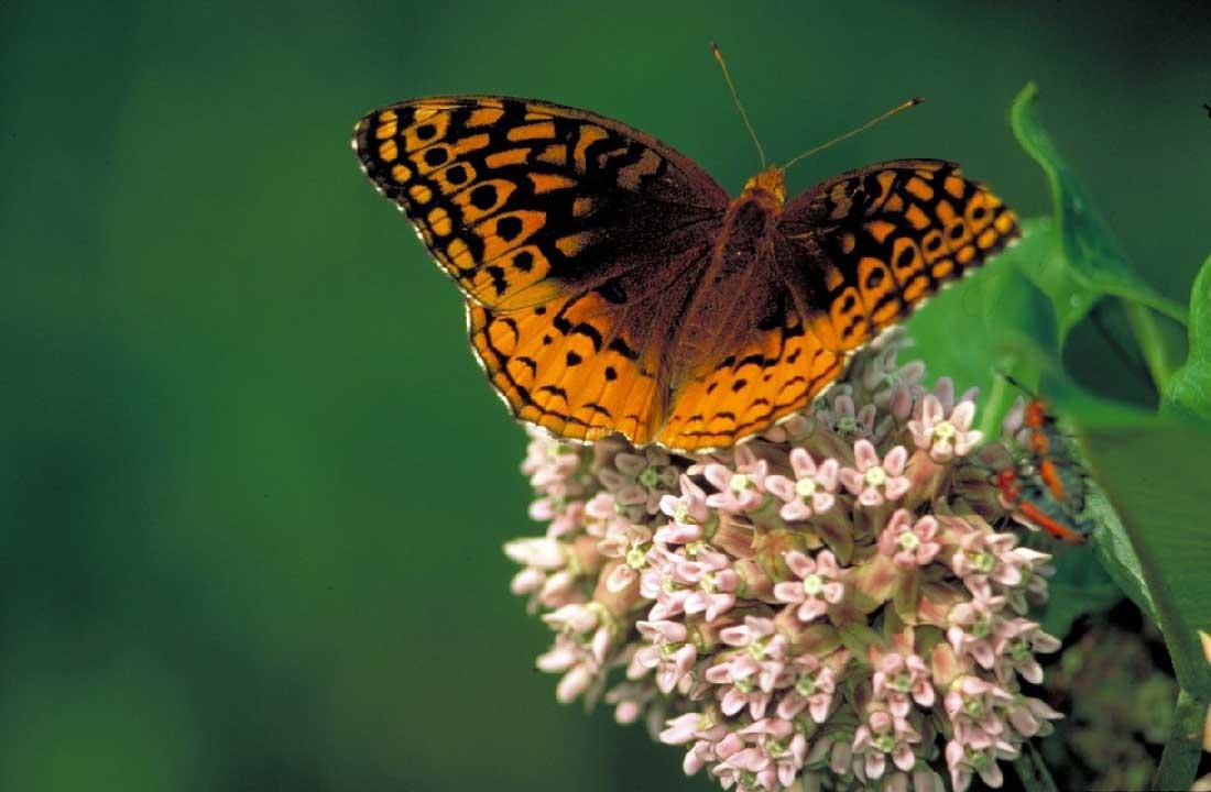 Un papillon sur une fleure d'asclépiade